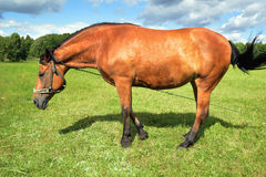 Brown horse standing in a meadow. Stock Photo