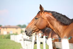 Brown horse standing near the fence Stock Images