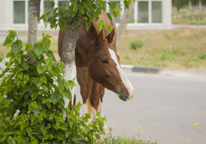Brown horse  standing next to a tree and bush Royalty Free Stock Images