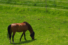 Brown horse standing on the pasture and green medow Royalty Free Stock Photography