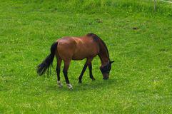 Brown horse standing on the pasture and green medow Royalty Free Stock Photo