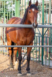 Brown horse standing in stable Royalty Free Stock Photo