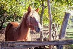 Brown horse standing Royalty Free Stock Photography