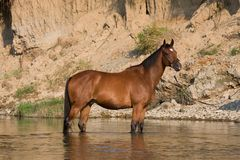Brown horse standing in the water Royalty Free Stock Image
