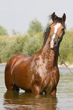 Brown horse standing in the water Stock Photography