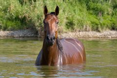 Brown horse standing in the water Royalty Free Stock Photo