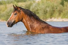 Brown horse standing in the water Stock Images