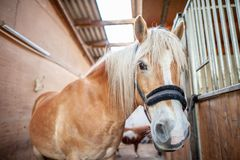 Brown horse stands in a stable Royalty Free Stock Photos