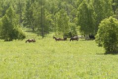 Brown horse stands among the trees. Horses walking in the field, greenery, summer, recreation, rural, farm Stock Photos