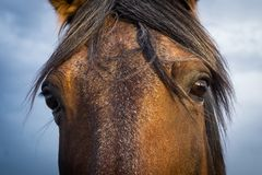 Brown Horse Stare Down. Close up of dark brown and black horse staring into the camera Royalty Free Stock Images