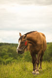 Brown horse staying above green meadows and forest background with the eyes closed.  Royalty Free Stock Photography