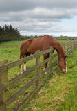 Brown horse stretches to reach grass Royalty Free Stock Photos