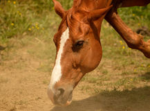Brown horse taking a stroll. Closeup of brown horse on a stroll stock images