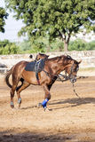 Brown horse is trained by the lunge Stock Photography
