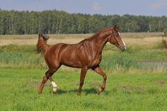 Brown horse trots on the meadow Royalty Free Stock Photo
