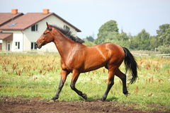 Brown horse trotting at the field Royalty Free Stock Photo