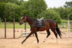 Brown horse trotting on the line Stock Photos