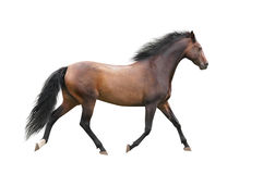Brown horse trotting on white background stock images