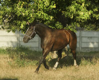 Brown horse unning on light dry grass Stock Photos