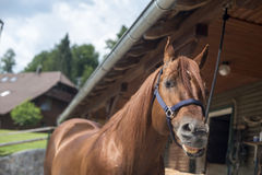 Brown horse. Horse waiting outside of stables for some riding Stock Photos