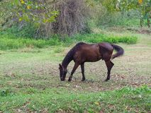 Brown horse walk around and eating some fresh grass. In the natural meadow near tropical forrest Royalty Free Stock Photography