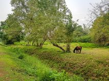 Brown horse walk around and eating some fresh grass. In the natural meadow near tropical forrest Royalty Free Stock Photos