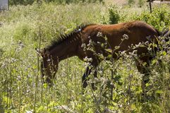 Brown horse is   walking and eating grass in the meadow with flowers and trees far away. Travelling.  royalty free stock photography