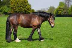 Brown horse walking on the field Royalty Free Stock Photo