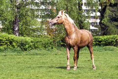 Brown horse walking Stock Photography