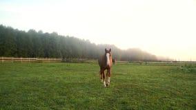 Brown horse walking on pasture at animal farm. Horse close up