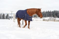Brown horse walking in snow, covered with a blanket coat to keep warm during winter, wooden ranch fence and trees in stock image