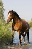 Brown horse in the water Stock Image