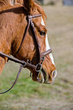 Brown horse wearing tack Stock Images
