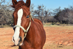Brown horse in western ranch pasture, showing equestrian beauty. Stock Photos
