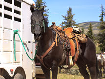 Brown horse in Western saddle. Typical Western saddle and pack on a brown horse tied to a trailer outside Stock Photo