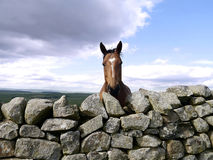 Brown horse with white blaze looking over wall Stock Photography
