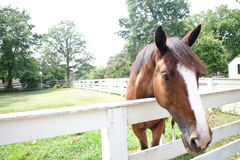 Brown Horse and White Fence. A beautiful and friendly brown horse stands in a field surrounded by a white fence Stock Photo