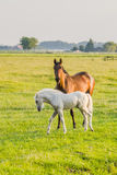 Brown horse with white foal Stock Image