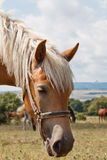 Brown horse with white mane. Sunday stroll with the horses near Shumen Stock Photography