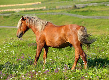 Brown horse with a white mane. On meadow Royalty Free Stock Images