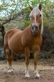 Brown Horse With White Mane. Portrait of Brown Horse With White Mane Stock Photography