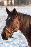 Brown horse with white marking. In winter Stock Photography
