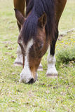 Brown horse with white markings Stock Photos