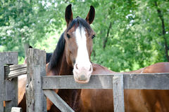 Brown Horse with White Nose. A beautiful and friendly brown horse stands with another horse next to a fence Royalty Free Stock Photography
