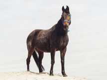 Brown horse on white sand on a background of pale gray sky Stock Photography