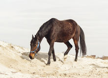 Brown horse on white sand on a background of pale gray sky Stock Photos