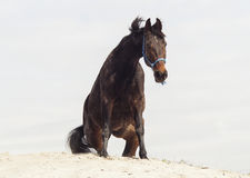Brown horse on white sand on a background of pale gray sky Stock Images