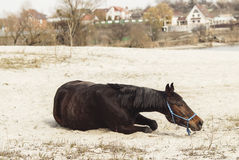 Brown horse on white sand on a background of pale gray sky Royalty Free Stock Photo