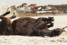 Brown horse on white sand on a background of pale gray sky Royalty Free Stock Image