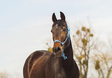 Brown horse on white sand on a background of pale gray sky Stock Image